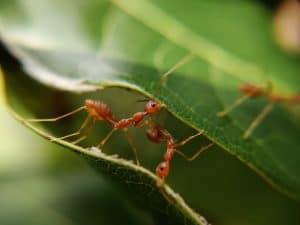 Ameisen die Blätter zusammenhalten